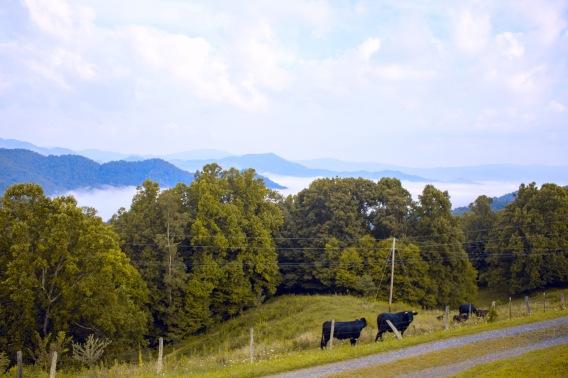 mountain cows.jpg