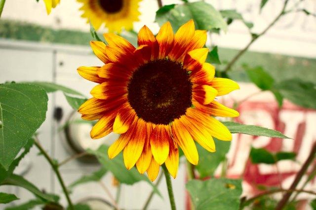 mtn flower 5.jpg